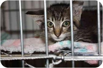 Domestic Shorthair Kitten for adoption in Owasso, Oklahoma - Sage
