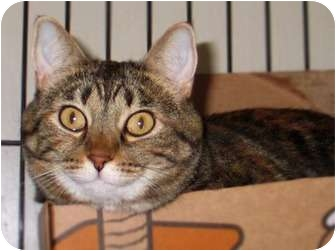 Domestic Shorthair Cat for adoption in Maple Ridge, British Columbia - Maisy - VIDEOS