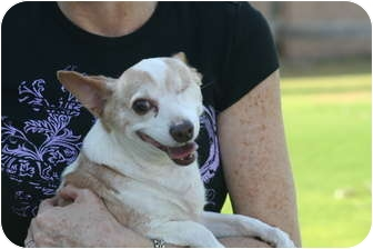 Chihuahua Dog for adoption in Scottsdale, Arizona - Pequito