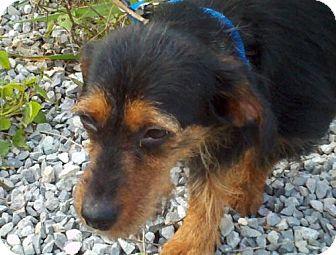 Dachshund Dog for adoption in Spring Valley, New York - Laverne