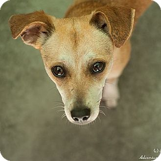 Chihuahua Mix Dog for adoption in Berkeley, California - Shayna