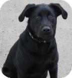 Labrador Retriever Dog for adoption in West Des Moines, Iowa - Smokey