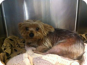 Yorkie, Yorkshire Terrier Dog for adoption in Chicago, Illinois - HOLLIE