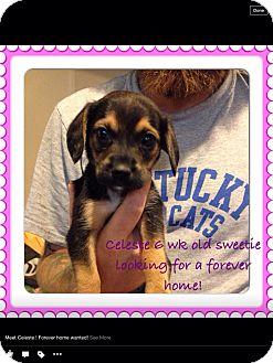 Beagle Mix Puppy for adoption in Lexington, Kentucky - Celeste