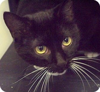 Domestic Shorthair Cat for adoption in Dunkirk, New York - Christy