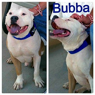 American Pit Bull Terrier Mix Dog for adoption in Snellville, Georgia - Bubba