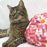 Adopt A Pet :: Tiger - Arlington, VA