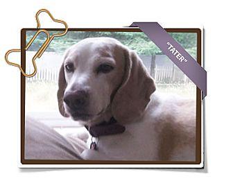 Beagle Dog for adoption in Portland, Oregon - Tater