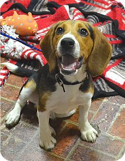 Beagle Mix Puppy for adoption in Albion, New York - Tank