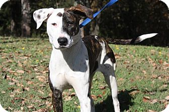 Pit Bull Terrier Mix Dog for adoption in Conway, Arkansas - Milly