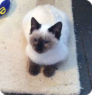 Siamese Kitten for adoption in Cannon Falls, Minnesota - Charley Charley