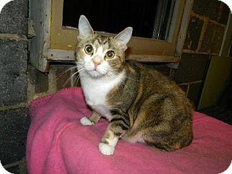 Domestic Shorthair Cat for adoption in Fredericksburg, Virginia - ZOE
