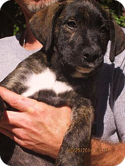 Labrador Retriever/Boxer Mix Puppy for adoption in Rutherfordton, North Carolina - Hudson