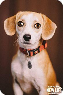 Beagle/Chihuahua Mix Dog for adoption in Portland, Oregon - Ramona