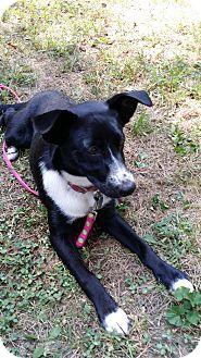 Border Collie/Beagle Mix Dog for adoption in Paris, Illinois - Stella