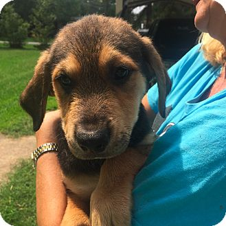 Shepherd (Unknown Type)/Hound (Unknown Type) Mix Puppy for adoption in East Hartford, Connecticut - Whitley meet me 10/23