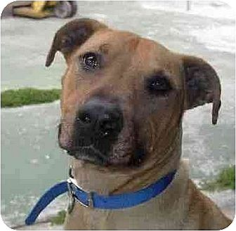 Staffordshire Bull Terrier/Rhodesian Ridgeback Mix Dog for adoption in Downey, California - Miss Lilly