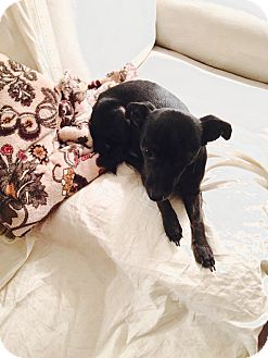 Chihuahua/Miniature Pinscher Mix Dog for adoption in Las Vegas, Nevada - Buddy