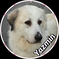 Great Pyrenees Dog for adoption in Newnan, Georgia - Yasmin