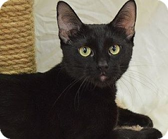 Domestic Shorthair Cat for adoption in Hillside, Illinois - Mia-SNUGGLES & PURRS