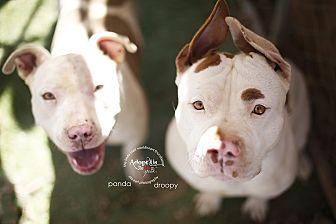 Staffordshire Bull Terrier Mix Dog for adoption in Toluca Lake, California - Panda