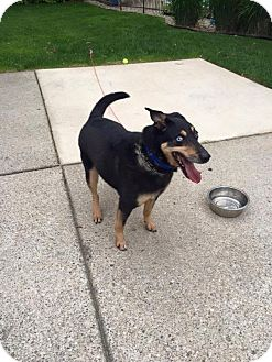 Siberian Husky/Collie Mix Dog for adoption in Shingleton, Michigan - Dodger - SANCTUARY