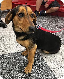 Basset Hound/Beagle Mix Dog for adoption in Tucson, Arizona - Tobi