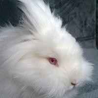 Adopt A Pet :: Bubbles - Seattle c/o Kingston 98346/ Washington State, WA