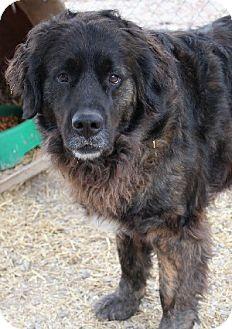 Newfoundland/Retriever (Unknown Type) Mix Dog for adoption in Savannah, Missouri - Kami