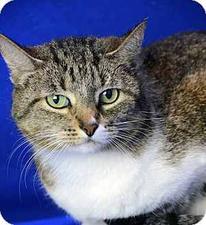 Domestic Shorthair Cat for adoption in LAFAYETTE, Louisiana - FRANCES