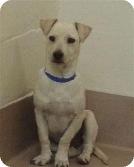 Labrador Retriever/Basset Hound Mix Puppy for adoption in Pasadena, California - IKE