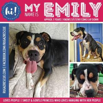 American Pit Bull Terrier Mix Dog for adoption in New Port Richey, Florida - Emily