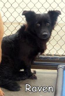 Mixed Breed (Medium) Mix Dog for adoption in Georgetown, South Carolina - Raven