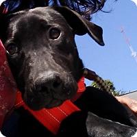 Adopt A Pet :: Zia - Southbury, CT