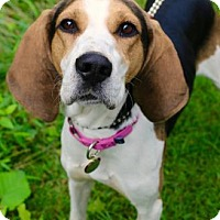 Adopt A Pet :: Henna - Chester Springs, PA
