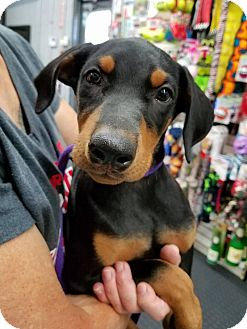 Miniature Pinscher Mix Puppy for adoption in Plainfield, Illinois - Piper