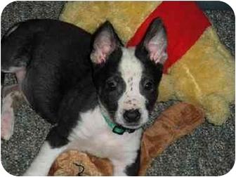 Terrier (Unknown Type, Medium)/Australian Cattle Dog Mix Puppy for adoption in Saanichton, British Columbia - Laloo