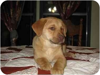 Labrador Retriever Mix Puppy for adoption in Somerset, Kentucky - Lena