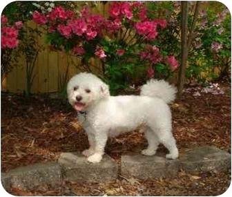 Bichon Frise/Poodle (Miniature) Mix Dog for adoption in Baton Rouge, Louisiana - Rhyden