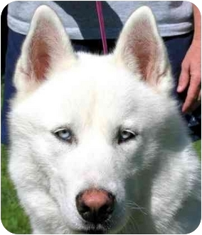 Husky Dog for adoption in Pawling, New York - SNOW