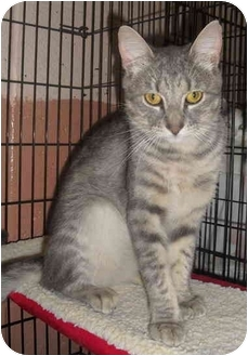 Domestic Shorthair Cat for adoption in Honesdale, Pennsylvania - Puck