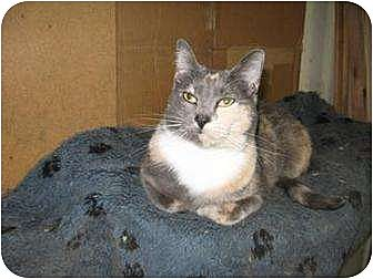 Calico Cat for adoption in San Jose, California - Tippy