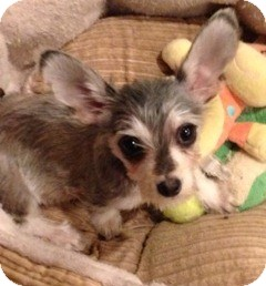 Schnauzer (Miniature) Mix Puppy for adoption in San Diego, California - Applesauce