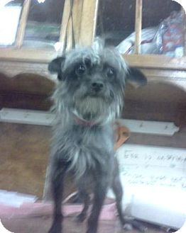 Yorkie, Yorkshire Terrier/Chinese Crested Mix Dog for adoption in Austin, Minnesota - Mia