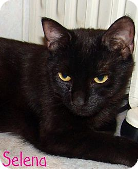 Domestic Shorthair Cat for adoption in River Edge, New Jersey - Selena