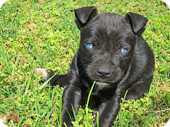 Labrador Retriever/Siberian Husky Mix Puppy for adoption in Beacon, New York - Jayden