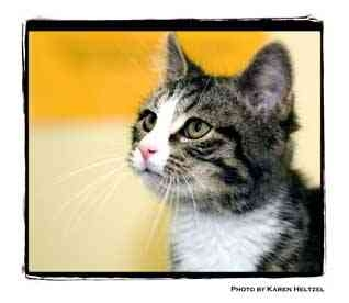 Domestic Shorthair Kitten for adoption in Warren, Pennsylvania - Sammy