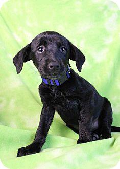 Labrador Retriever Mix Puppy for adoption in Westminster, Colorado - Teegan