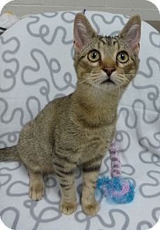 Domestic Shorthair Kitten for adoption in Marietta, Georgia - LAYA (R)
