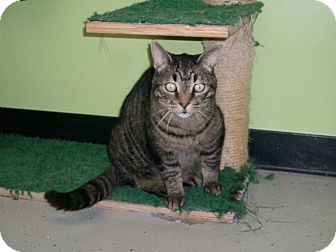 Domestic Shorthair Cat for adoption in Hibbing, Minnesota - REGGIE